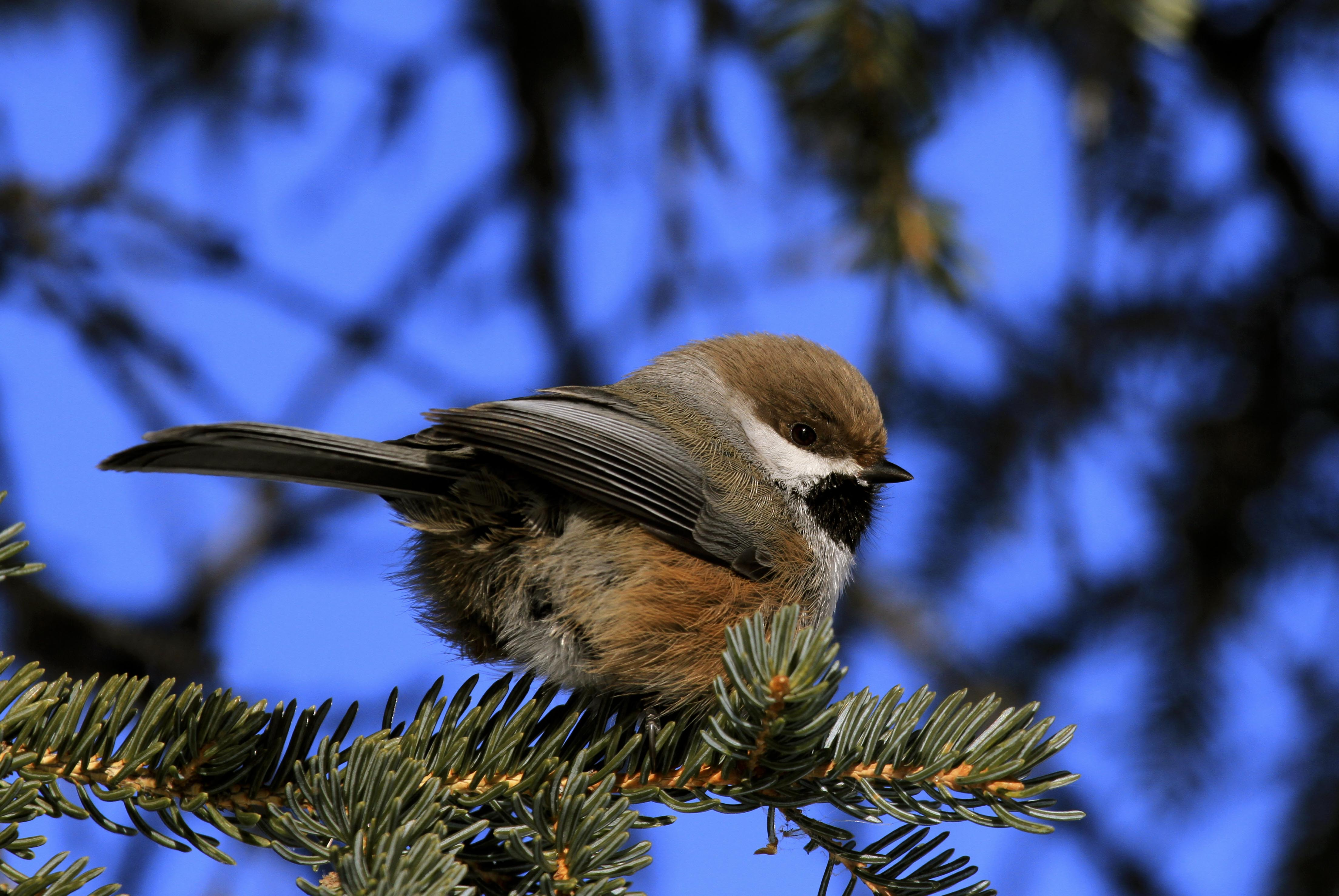 Boreal Chickadee - Photo Nick Hajdukovich
