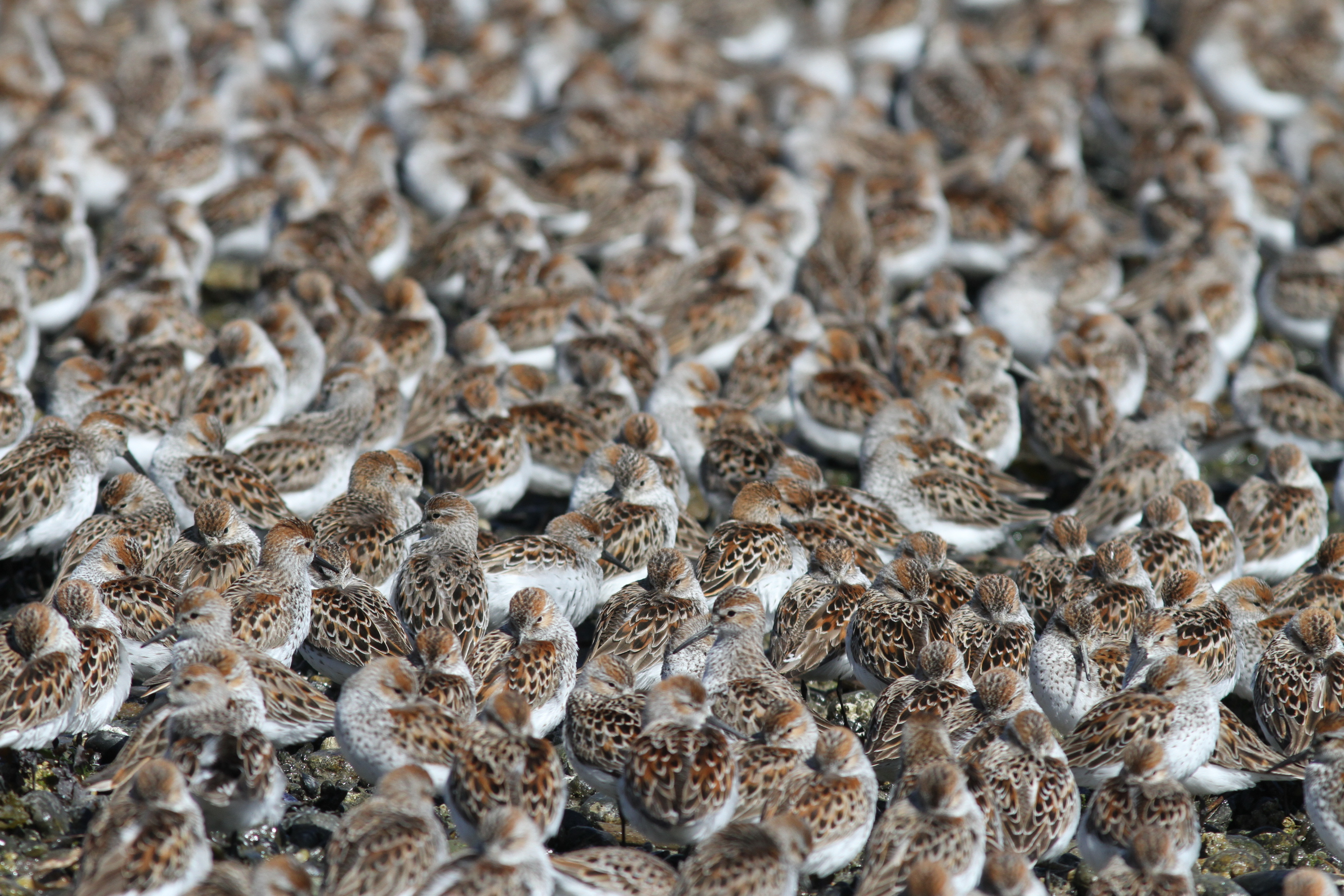 Western Sandpipers - Photo Vasiliy Baranyuk ©2013