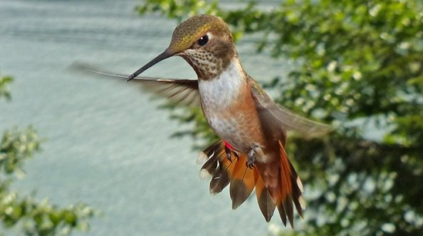 Rufous Hummingbird Aggressive Display by Bob Armstrong