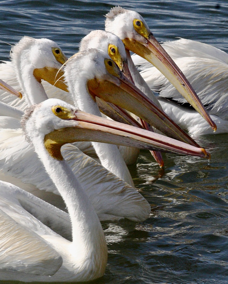 White Pelicans Photo USFWS
