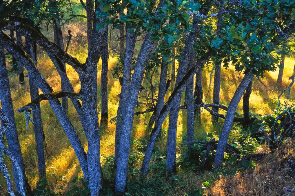 Keith Lazelle captured an oak grove in the evening light