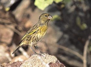 The imperiled Nihoa Finch is only found on the island of Nihoa.  Photo Jack Jeffrey, © Creative Commons