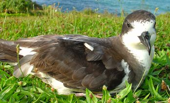 The ʻUaʻu, or Hawaiian Petrel, has undergone dramatic population declines. Photo - Brenda Zaun/USFWS