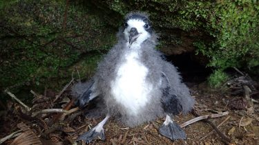 A Petrel Chick from a previous translocation project. Photo - Andre Raine/Kauaʻi Endangered Seabird Recovery Project