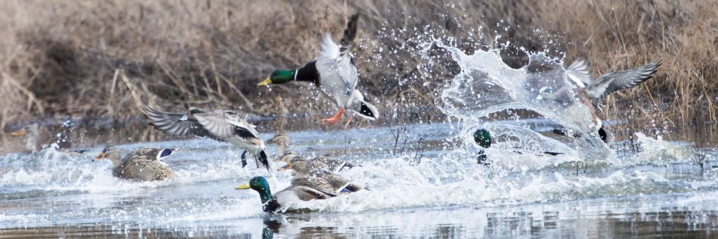 Mallard and American  Wigeon are among the many waterfowl species in Tiallmook Bay.