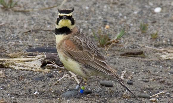 Streaked Horned Lark Photo credit David Maloney U.S. Fish and Wildlife Service copy 2