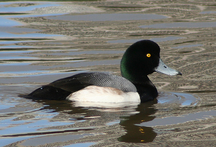 Greater Scaup © Calibas, Wiki Commons