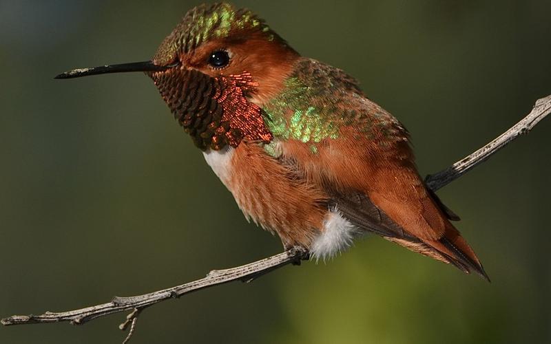 Rufous_Hummingbird_WilliamGarrett_CreativeCommons