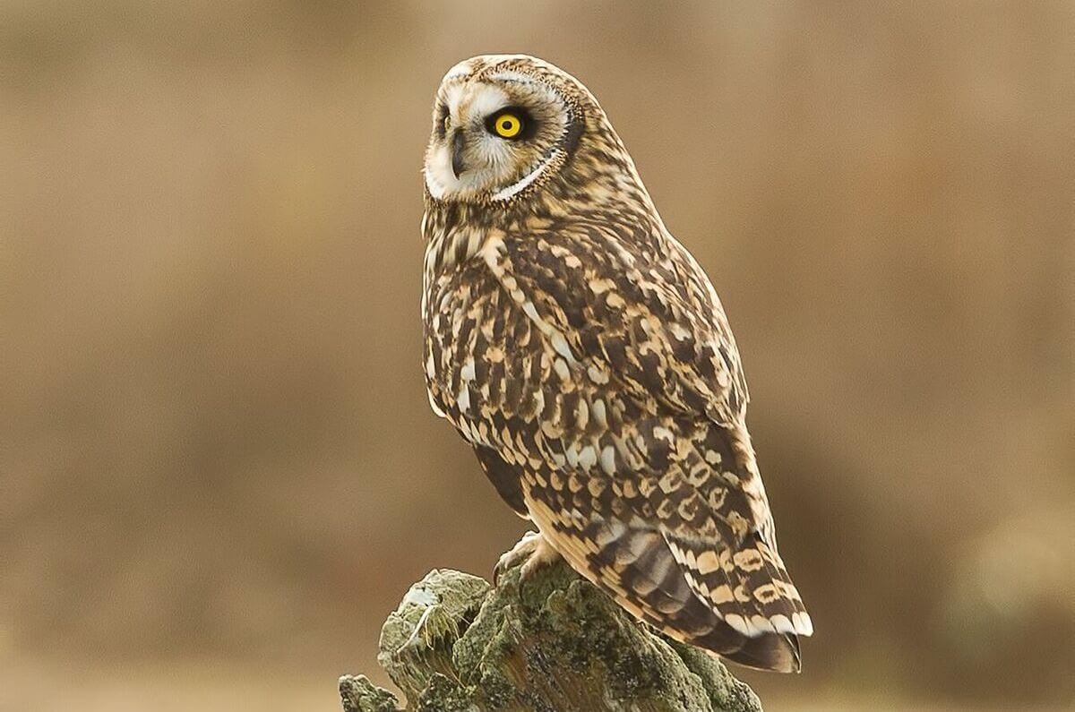 Short-eared OwlPhoto-Steve Large